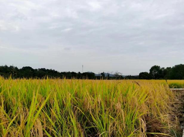 南方双季稻区水稻栽植机械化取得明显进展