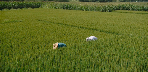 化肥农药使用量零增长行动目标顺利实现 我国三大粮食作物化肥农药利用率双双达40%以上