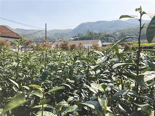 促進茶產業健康發展 提高產業鏈供應鏈現代化水平