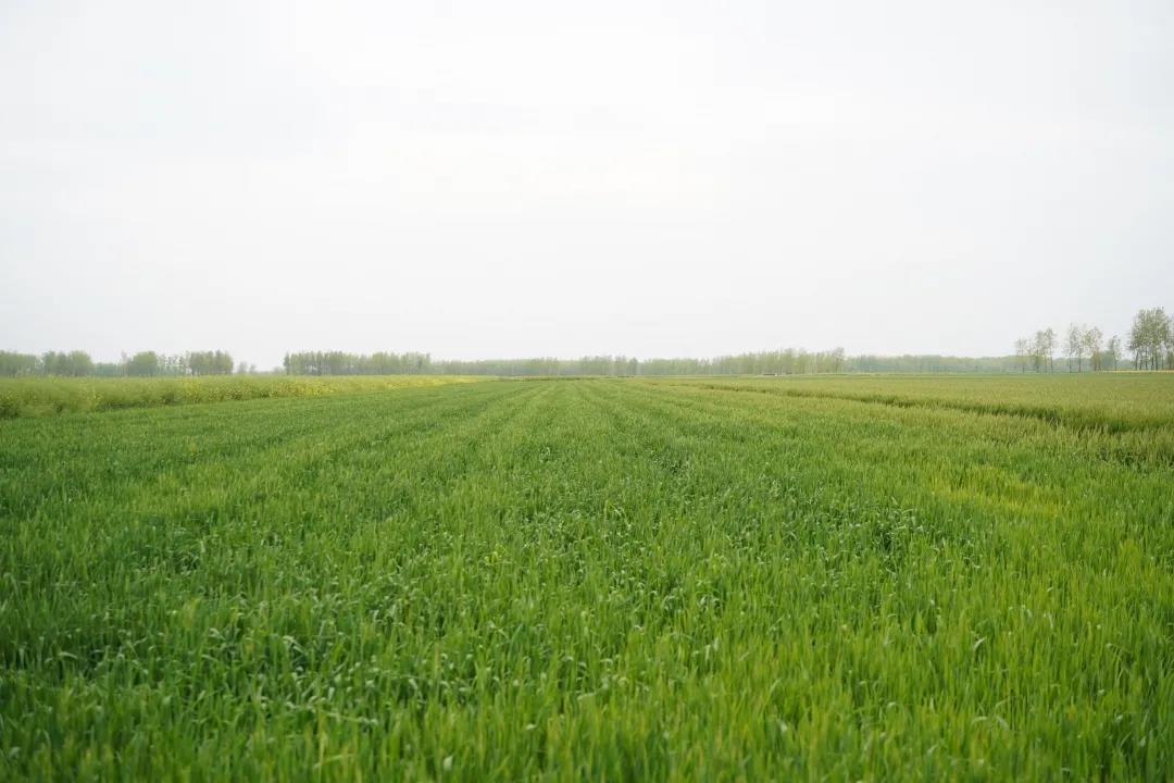 国家一线高标准农田,如何进行小麦统防统治